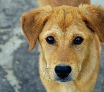 Brown dog looking at camera